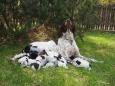 """FURIA CZARNY DWÓR ze Skolnitego, córka Jagi pokryta została pięknym psem ze znakomitej czeskiej hodowli """"ze Stipek"""". Ojciec szczeniąt, TOR ze Stipek jest pięknym, o klasycznym wyglądzie wyżłem, wspaniałym eksterierowo […]"""
