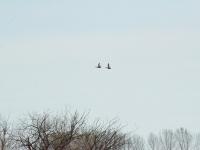 Nad staw nadciągają kolejne kaczki