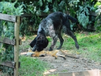 Pies energicznie rusza po aport