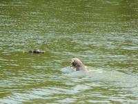 Aport i pies w wodzie