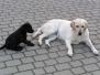 Labradory Mufa i Buba
