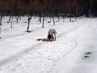 Flora - kontynuujemy naukę aportu lisa. Tym razem stary pies wagi ok. 10 kg i nie idzie nam najlepiej  ale jak mówią