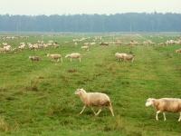 Torfowe, poprzecinane rowami łąki w Kryrach, niestety trzeba się pogodzić  z obecnością wielkiego stada owiec