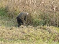 Za kaczką rusza młody breton