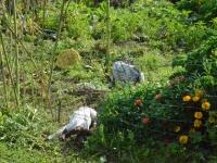 Ulubione miejsce rozróbek szczeniaków - ogródek warzywny Lidki
