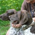 Piękna i trwająca przecież od setek lat tradycja polowania z wyżłem w Polsce zamiera na naszych oczach. Odbywają się co prawda corocznie liczne próby polowe dla młodych psów, field trialsy […]