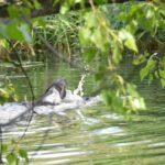 Jaga płynie w kierunku szuwarów, zadaniem jest przeszukanie ich w poszukiwaniu zwierzyny