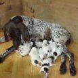 W nocy z 13 na 14 czerwca Flora urodziła 12 zdrowych szczeniąt, w tym pięć piesków. Dla nikogo ta noc nie była łatwa ale warto było bo szczeniaki są zdrowe […]