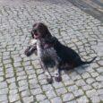 Janek, właściciel Figaro, o którym wielokrotnie pisałem na tej stronie postanowił nabyć szczeniaka gończego polskiego. Portos, bo tak nazywa się nowy piesek, ma stać się towarzyszem łowów na dziki i […]