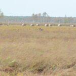 Nagle, nad niewielką powierzchnią nieskoszonej łąki pojawia się łeb byka-łosia