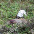 """Mając w pamięci liczne, wędrujące miedzami koguty w czasie wiosennego polowania na kozły w KŁ """"Bażant"""" w Hrubieszowie oraz niezwykle gościnne przyjęcie jakie zgotowali nam koledzy, postanowiliśmy z Jankiem zapolować […]"""