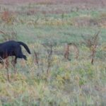 Labradorki ruszają w teren za kogutami