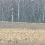 Kolejne sarny ruszają na spokojniejszy teren