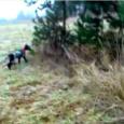 Otrzymałem dzisiaj krótki film, nakręcony telefonem komórkowym, pokazujący wyczyny łowieckie Nari, nieco ponad pięciomiesięcznej córki Flory i Utz'a (miot G). Film nakręcił właściciel suczki w czasie ostatniego polowania na bażanty […]
