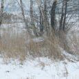 Jeżeli chcemy mieć dobre stany drobnej zwierzyny, szczególnie bażantów, musimy jej zapewnić możliwie dobre warunki przetrwania zimy. Bażant syty nie jest tak narażony na atak drapieżnika, wiosną jest lepiej przygotowany […]