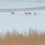 Sarny, podzielone na mniejsze grupy ruszają w pole