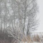 Drzewa nad posypem zapełnionym ziarnem kukurydzy przeżywają prawdziwe oblężenie