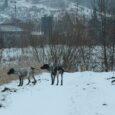 Kończy się już kalendarzowy sezon na bażanty. W tym roku bardzo intensywnie polowaliśmy na koguty w różnych łowiskach południowej Polski. Jaga i Flora miały naprawdę ciężki i udany sezon tak, […]