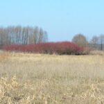 Pamiętam dokładnie ten dzień kiedy sadziliśmy pędy derenia białego na nieużytku nad rzeką