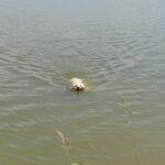 Pufa z koziołkiem w pysku wraca do brzegu