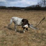 Dla silnego psa, jakim jest Fiord aport niemałej gęsi nie jest problemem