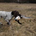 Dla silnego psa jakim jest Fiord aport niemałej gęsi nie jest problemem