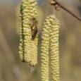 Początek marca, ciepłe, prawdziwie wiosenne południe. Na kwitnącej leszczynie szaleją pszczoły. Tak trzymać!