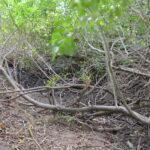 W wyschniętym potoku dziki wyszukują bardziej wilgotnych miejsc