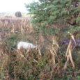 Dzisiaj, na zaproszenie Szymona, byłem na pierwszych kogutach w sezonie, w opisywanym już wielokrotnie łowisku w Jaworznie. Poranne mgły zamieniły się w piękny słoneczny dzień tak, że polowanie odbyło się […]