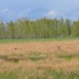 Wielokrotnie na stronie pokazywałem swoje polowania i wędrówki po łąkach i nieużytkach doliny Pszczynki. Z pewnością, w tym łowisku jest to najbardziej rozległa i łowiecko atrakcyjna przestrzeń ale nie jest […]