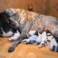 Wczesnym rankiem 7 maja Gapa (GAGA) urodziła 11 zdrowych, aktywnych i pięknych szczeniąt. Mamy 6 piesków i 5 suczek. Kilka zdjęć z pierwszej doby życia szczeniąt poniżej. PS. Dostałem dzisiaj […]
