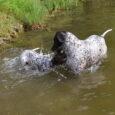 """Letnie upały nie zachęcają do wędrówek po polach, stwarzają natomiast wspaniałe warunki do oswajania szczeniaków z wodą. Z miotu H w """"domu"""" zostały 2 – HEKTOR u Maćka i HERA […]"""